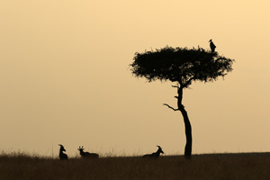 Mara tree with roosting marabou stork