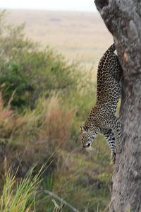 Leopard descending from a tree