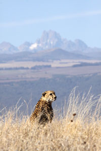 Cheetah on Lewa