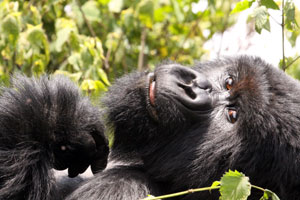 Mountain Gorilla, Parc National des Volcans