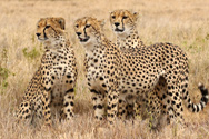 cheetahs on lewa