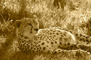 Cheetah warming up n the morning sun, Mara