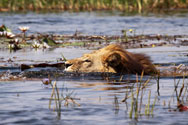 Lions swimming amongst waterlillies, Xigera Camp, Botswana