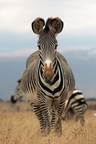 Zebra, Lewa Downs