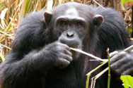 Chimpanzees ar eamongst teh primates found in Nyungwe forest